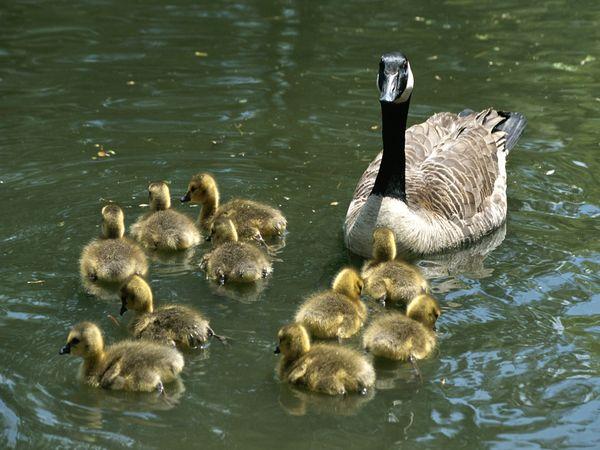 canada-goose_family.jpg