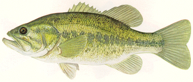 largemouth_bass.jpg